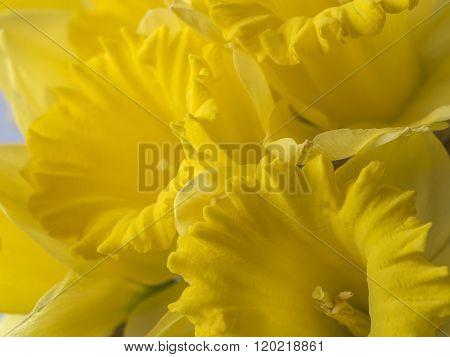 Daffodil In Studio Setting