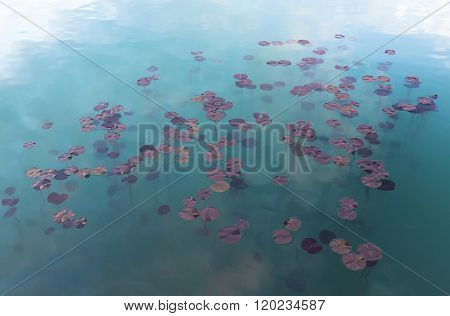 Watel Lily Plants In The Water