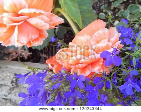 Orange Begonias with Blue Lobelia