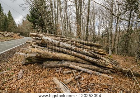 Wood pile and the forest in the background. Fall season scenary.