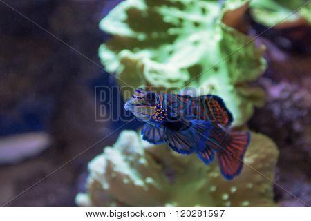 Small tropical fish Mandarinfish