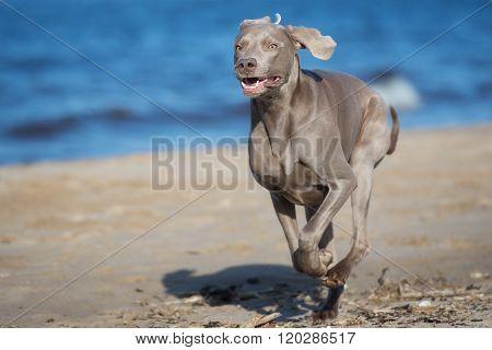 weimaraner dog running on the beach in summer poster