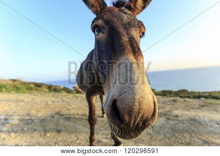 Wild Donkey In Eastern Peninsula Of Northern Cyprus