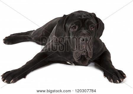 Mastiff Neopolitano Dog