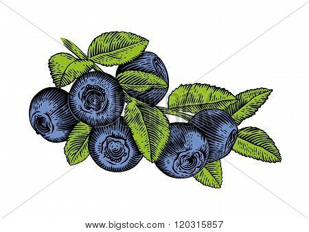 Branch Of Blueberry