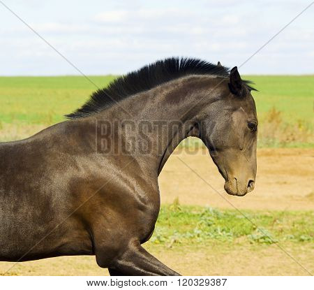dark brown horse running in a field on the sky background