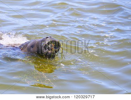 Manatee's Big Mouth