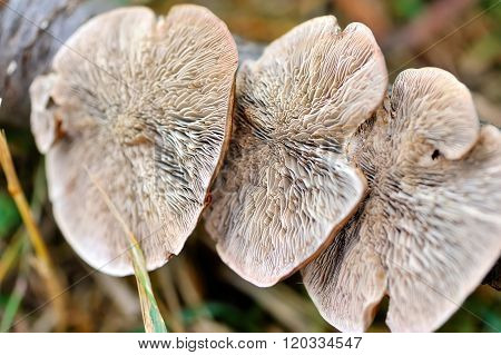 Close-up Mushroom (ganoderma Lucidum) View From Below