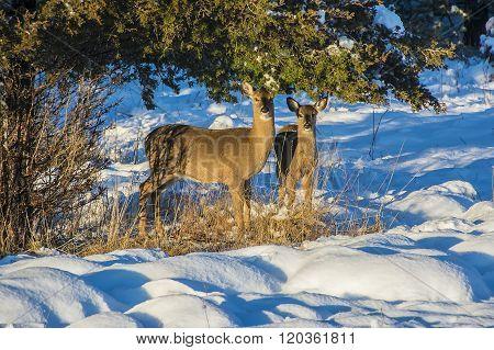 Deer 1110