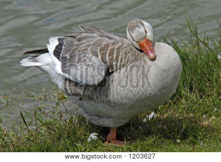 Big Fat Goose