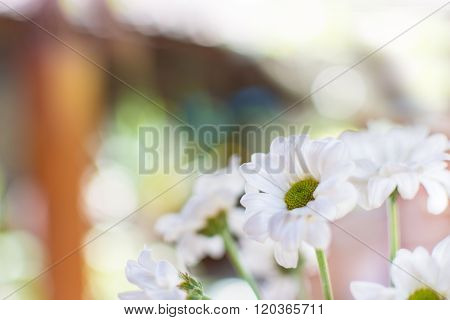 White chamomile flowers. Selective focus, blurred background.