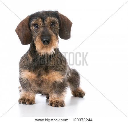 miniature wirehaired dachshund sitting on white background