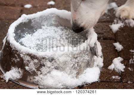Dog Drinks From Frozen Bowl