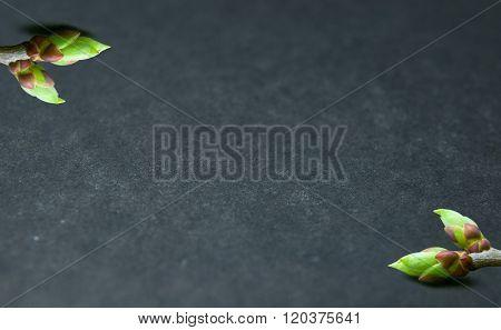 Buds Swell Background On Grey. Diagonally Buds
