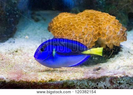 A blue, black and yellow fish-surgeon or blue regal tang (paracanthurus hepatus). The same fish represented Dora in Nemo movie.