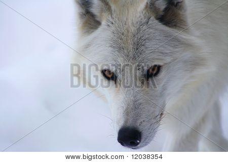 Winter Wolf Spirit