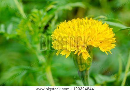Yellow Marigolds Flower.