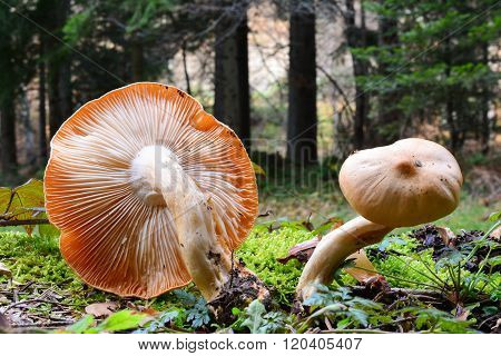 Rosy Woodwax Mushrooms