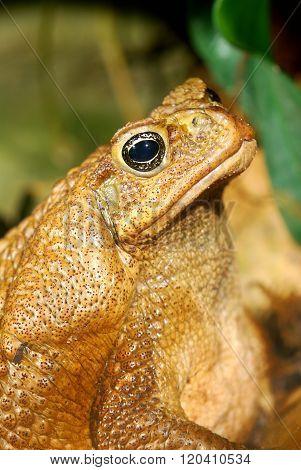 Large brown tropical toad Bufo marinus close-up