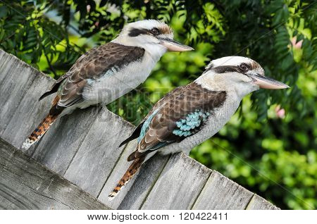 Two laughing kookaburras