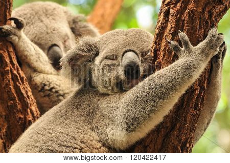 Sleeping koalas hug tree branches