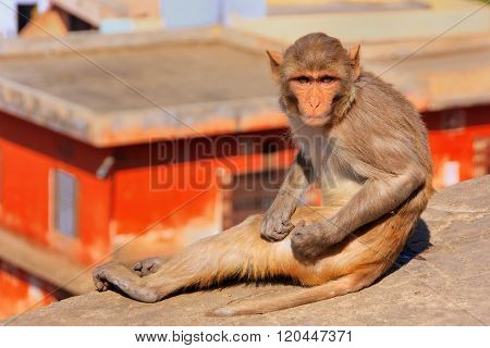 Rhesus Macaque Sitting On A Wall In Jaipur, India