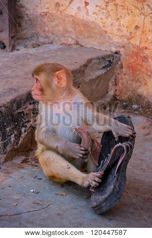 Young Rhesus Macaque Playing With Old Shoe In Jaipur, Rajasthan, India