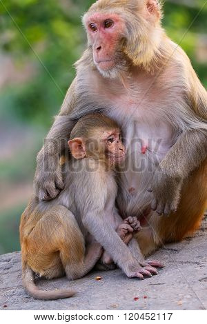 Rhesus Macaque With A Baby Sitting On A Wall In Jaipur, Rajasthan, India
