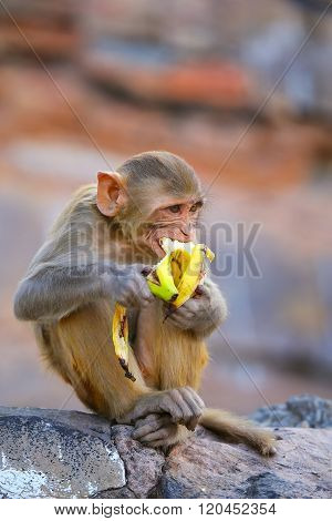 Rhesus Macaque Eating Banana In Galta Temple In Jaipur, Rajasthan, India