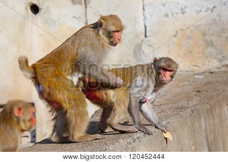 Rhesus Macaques (macaca Mulatta) Sitting On A Wall In Jaipur, India