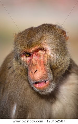 Portrait Of One-eyed Rhesus Macaque (macaca Mulatta) In Galta Temple, Jaipur, India