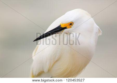 Portrait of Snowy egret (Egretta thula) with light background
