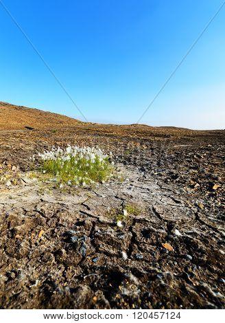The Plant Vaginal Cotton Grass