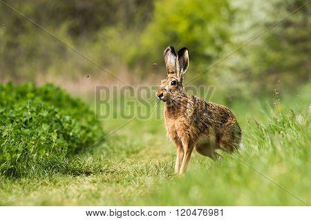 European hare (Lepus europaeus) on the field