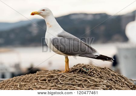 Big seagull gracefully poses for a photo.