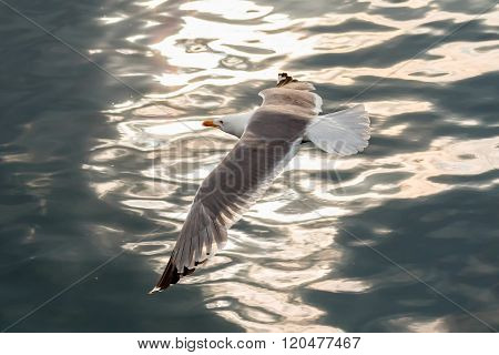 Nice big seagull flying over the water