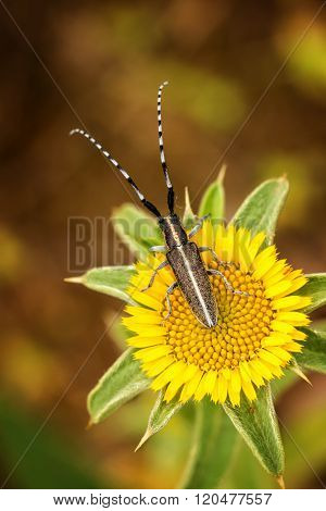 Flat-faced longhorn beetle (Agapanthia card), close up