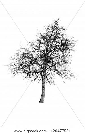 Single European Wild Pear tree isolated on white background