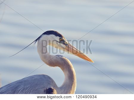 Great Blue Heron,Close Up Shot