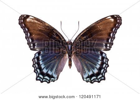 Limenitis arthemis astyanax. Beautiful colorful butterfly with brown and light blue wings isolated on white. Nymphalidae, Meadow Wanderer.