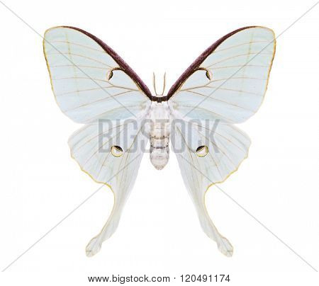 White moth butterfly. Actias artemis. Beautiful night moth with tailed wings isolated on white