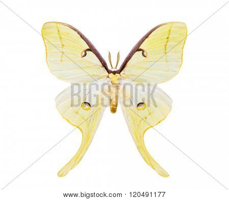 White moth butterfly. Actias maenas. Beautiful night moth with tailed wings isolated on white