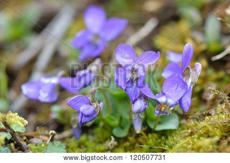 Early dog-violet (Viola reichenbachiana)