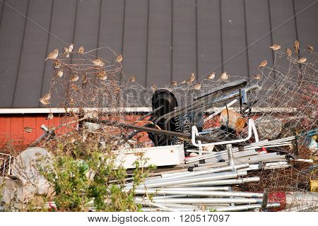 Sparrows On Garbage Heap