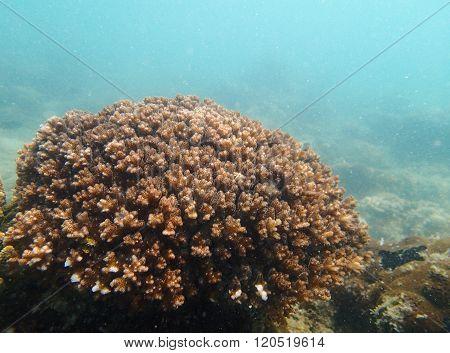 Cauliflower coral colony, Pocillopora in tropical ocean
