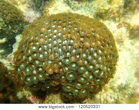 Closed up to zoanthid colony