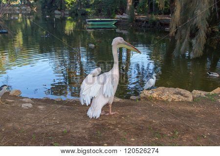 "RAMAT GAN, ISRAEL: DECEMBER 26 2015: White pelican on the lake in Ramat Gan's Zoo ""Safari"""