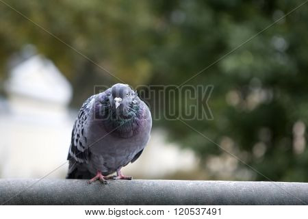 Pigeon grey is sitting on the crossbar.