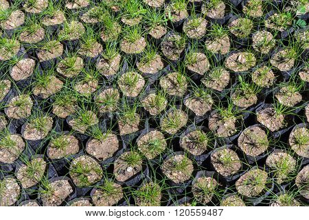 Pine Tree Seedlings