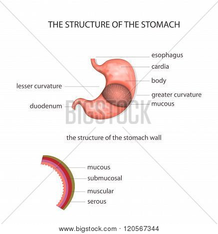illustration of the structure of the stomach poster